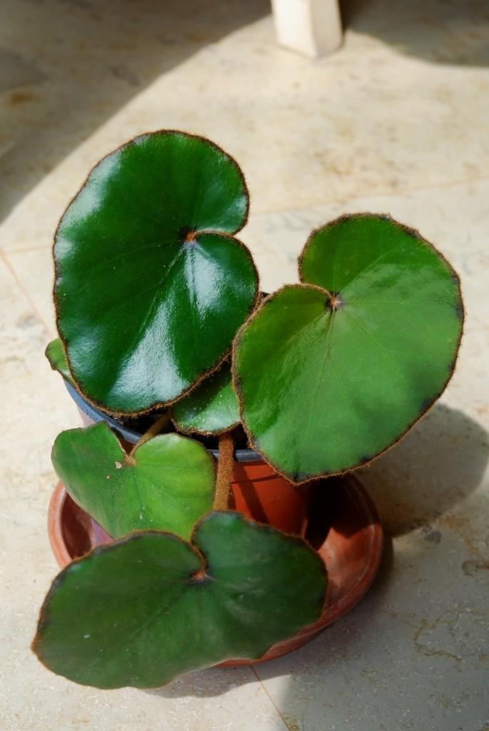 Begonia lyman smithii (rhizomateux) Lyman110