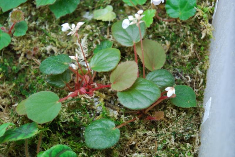 Begonia subnummularifolia* Subnum10