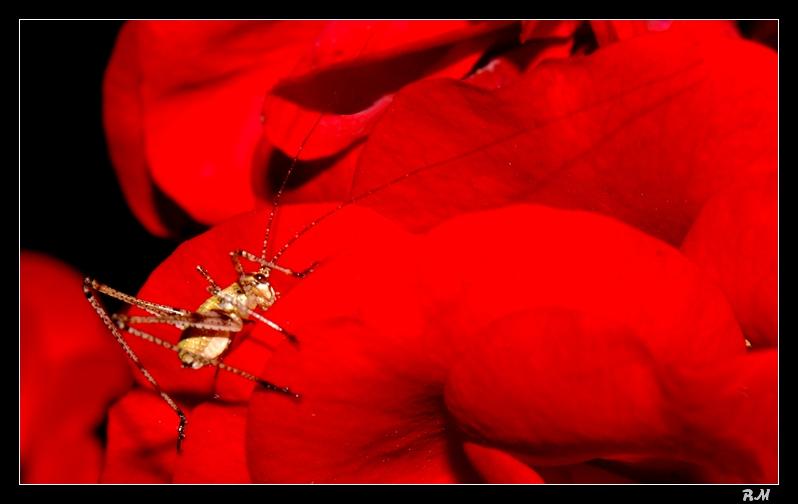 Les sauterelles naissent dans les roses ... Larves10