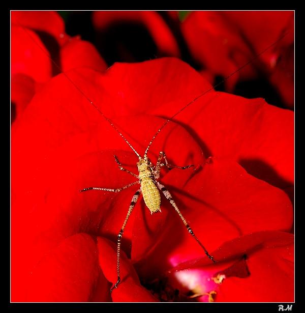 Les sauterelles naissent dans les roses ... Larves11