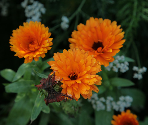 Souci, Calendula officinalis Forums10