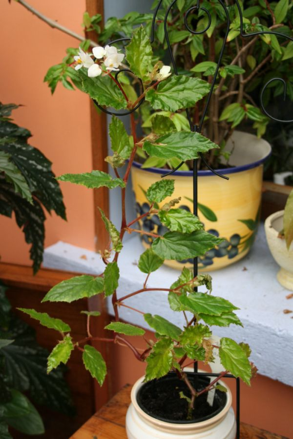 Begonia de Madère [Begonia acutifolia]* Bego_m10