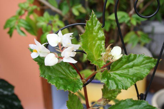 Begonia de Madère [Begonia acutifolia]* Bego_m11