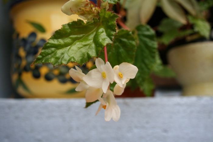 Begonia de Madère [Begonia acutifolia]* Bego_m12