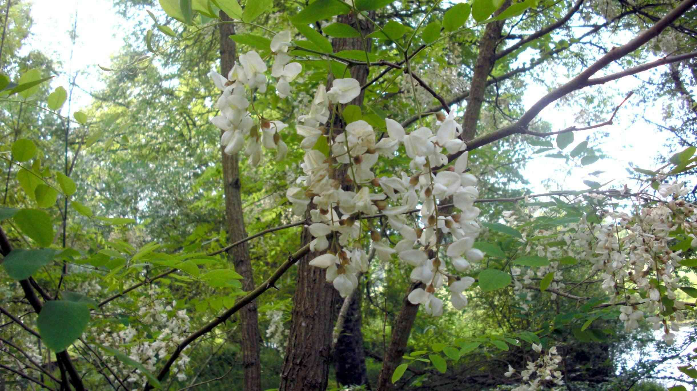 Beignets de fleurs d'acacias.... Cimg0510