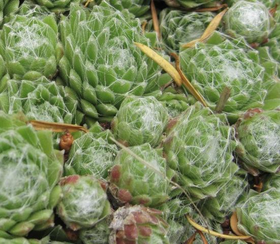 Sempervivum arachnoideum Pp212