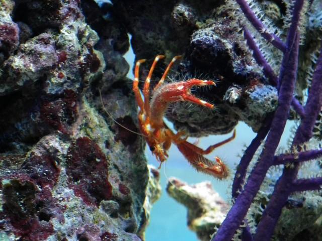 Identification (crabe orange) Dscf0410