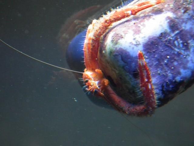 Identification (crabe orange) Dscf0411