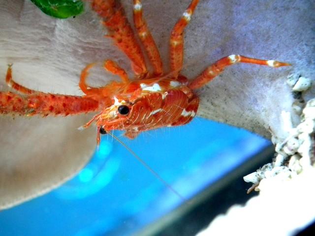 Identification (crabe orange) Dscf0412