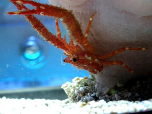 Identification (crabe orange) Dscf0413