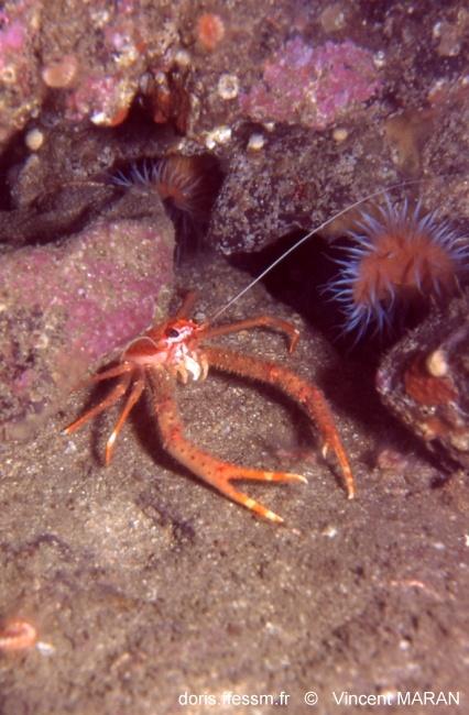 Identification (crabe orange) Munida10