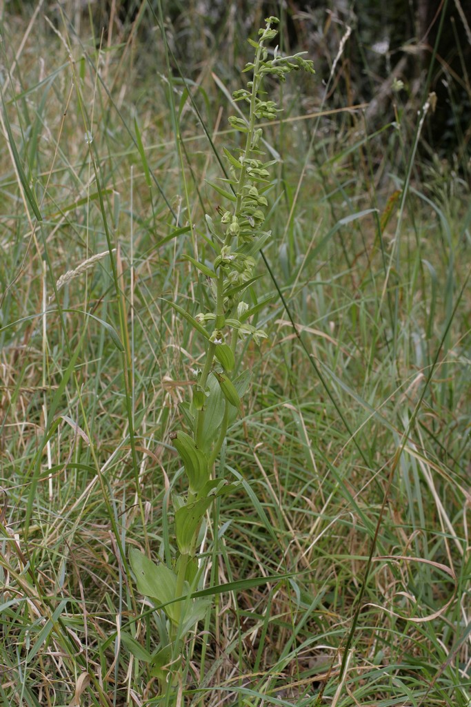 Epipactis rhodanensis ( Epipactis du Rhône ) 20070710