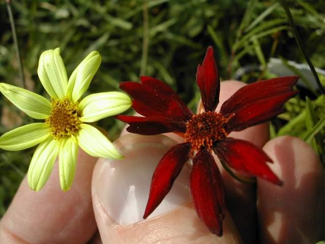 les Coreopsis verticillata Dscn8011