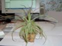 """Petite visite aux """"Plantes rares et de collections&quot Strept10"""