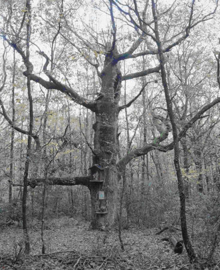 Les arbres à Clous Arbre114