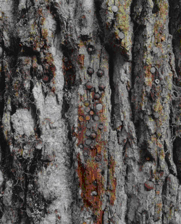 Les arbres à Clous Arbre_10