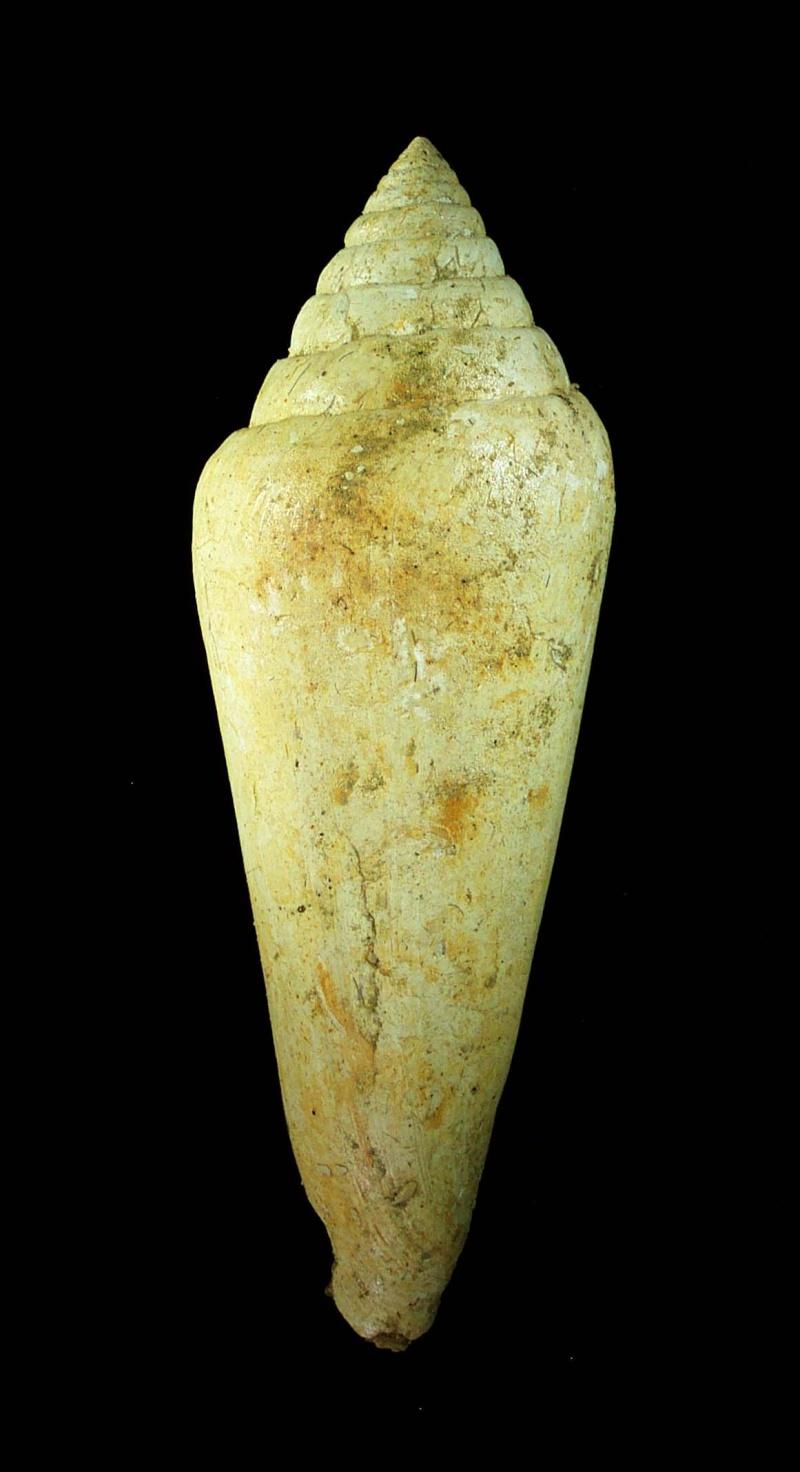 [résolu]Conus (Chelyconus) puschi Mich, Saucats Conus_10