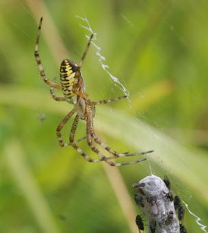 Araignée Araign12