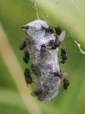 Araignée Cocon_11