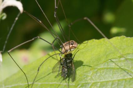 Les insectes Fauche11