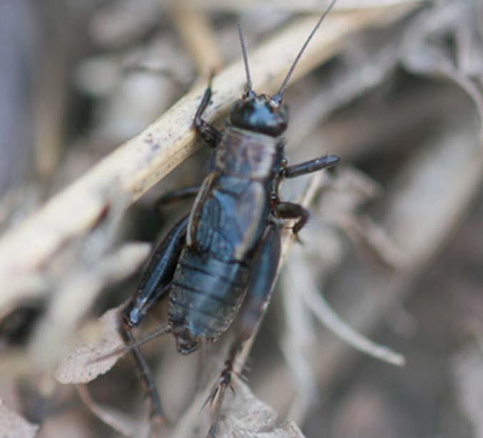 Les insectes /2 Grillo10
