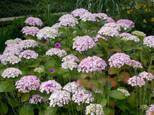 Hortensia H_ayes10