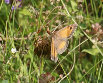 Papillon - Page 2 L_amar10