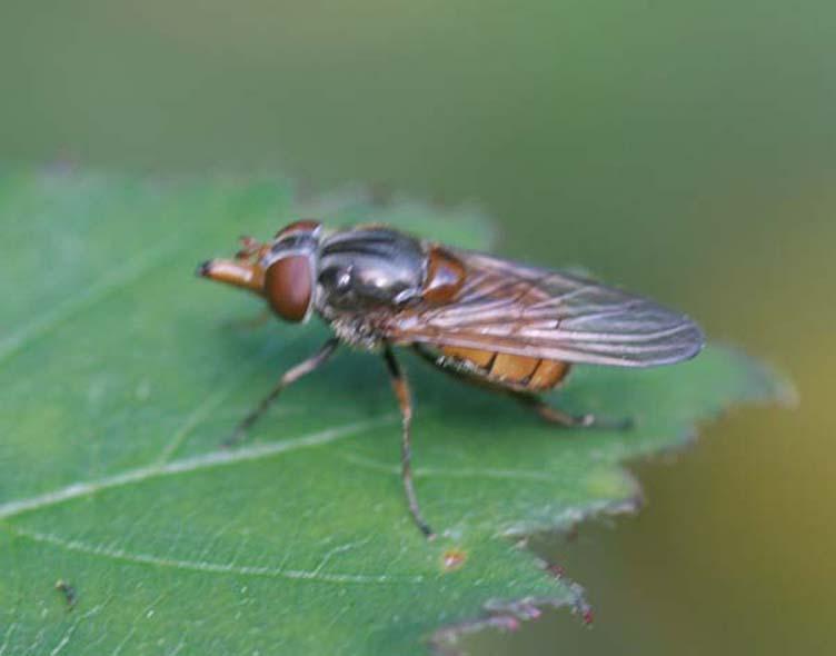 Les insectes /2 Rhingi11