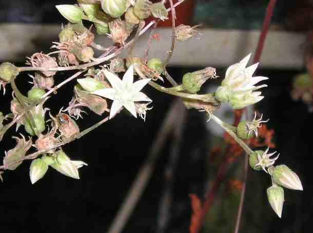 La jolie petite fleur de Aeonium goochiae Aeoniu11