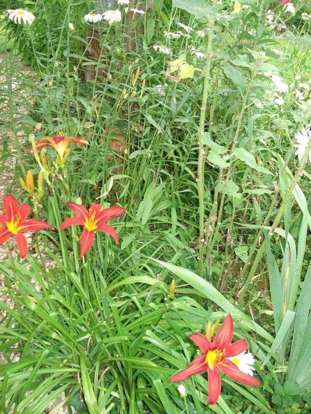 le jardin de Giroflee - Page 3 Jardin58