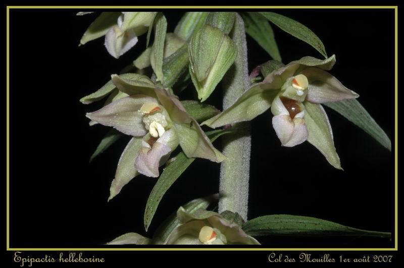 Epipactis helleborine ( Epipactis à larges feuilles ) Ehelle19