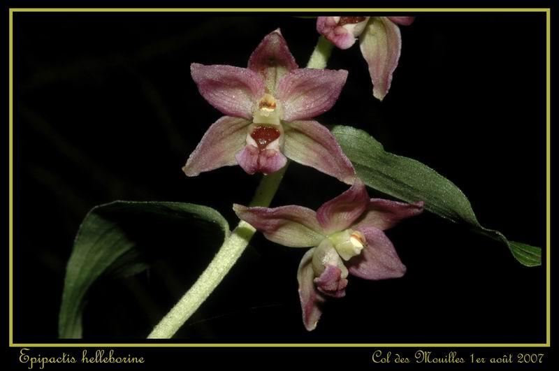 Epipactis helleborine ( Epipactis à larges feuilles ) Ehelle21