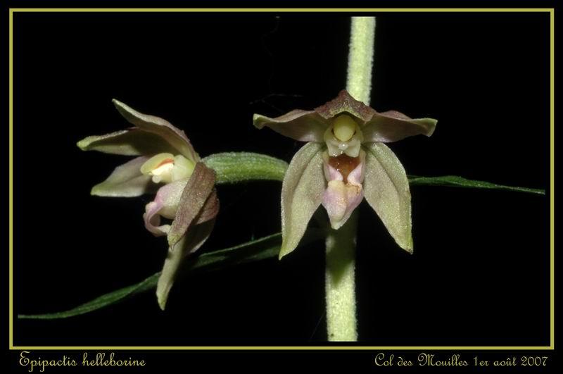 Epipactis helleborine ( Epipactis à larges feuilles ) Ehelle22