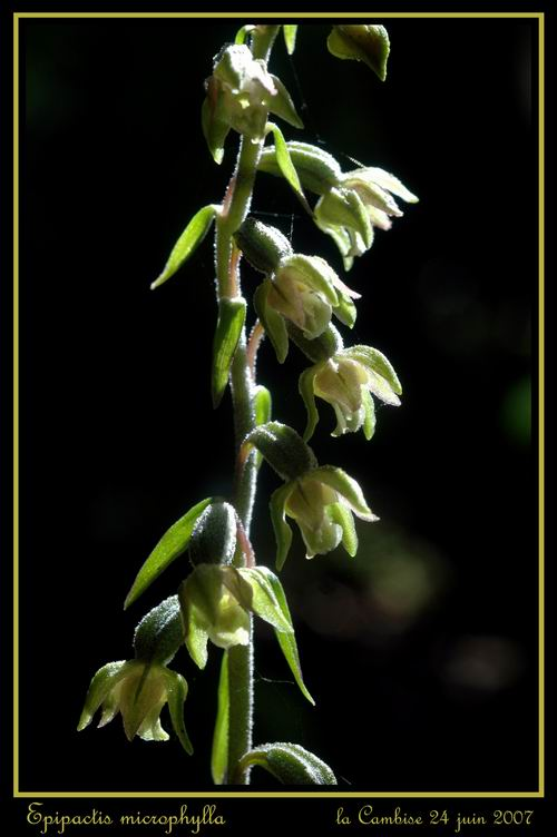 Epipactis microphylla Remicr11