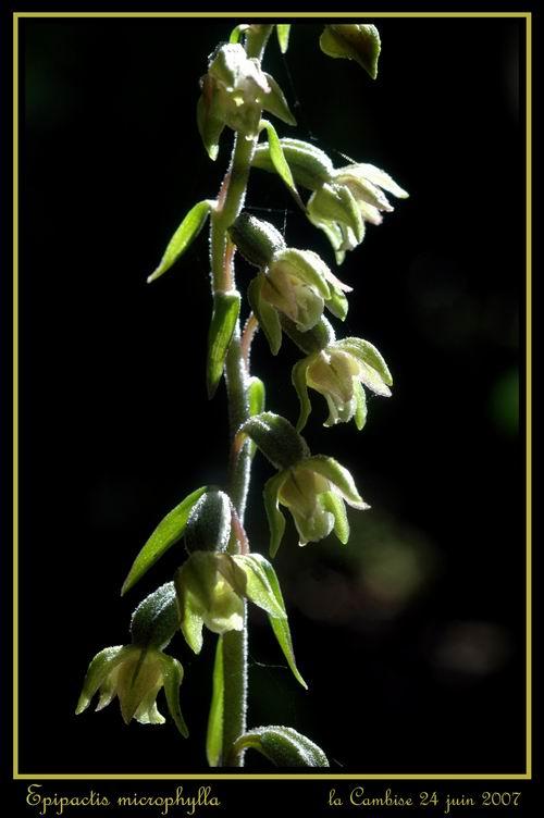Epipactis microphylla ( Epipactis à petites feuilles ) Remicr11