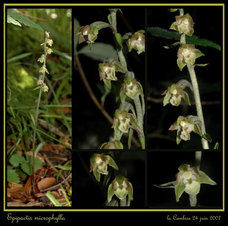 Epipactis microphylla ( Epipactis à petites feuilles ) Remicr13