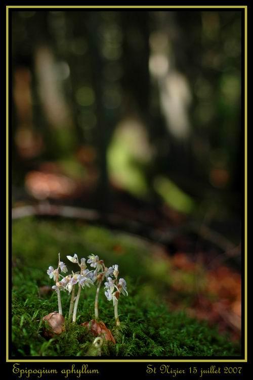 Epipogium aphyllum  ( Epipogon sans feuille ) Repipo11