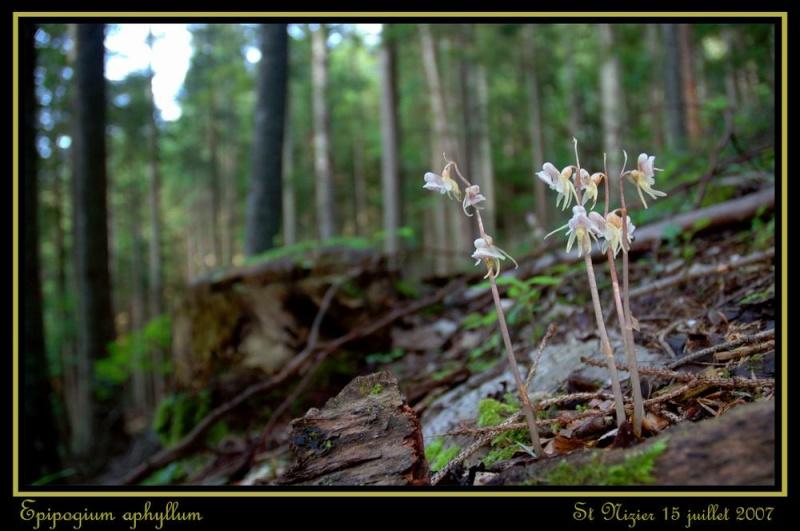 Epipogium aphyllum  ( Epipogon sans feuille ) Repipo13