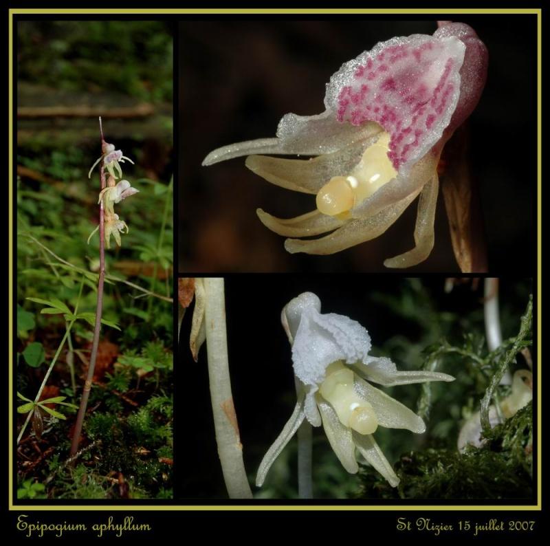 Epipogium aphyllum  ( Epipogon sans feuille ) Repipo14