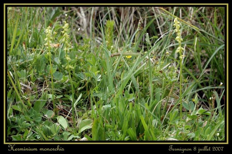 Herminium monorchis ( Orchis musc ) Rherm_10