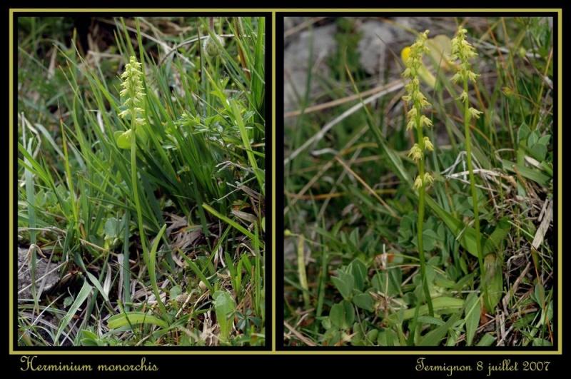 Herminium monorchis ( Orchis musc ) Rherm_11