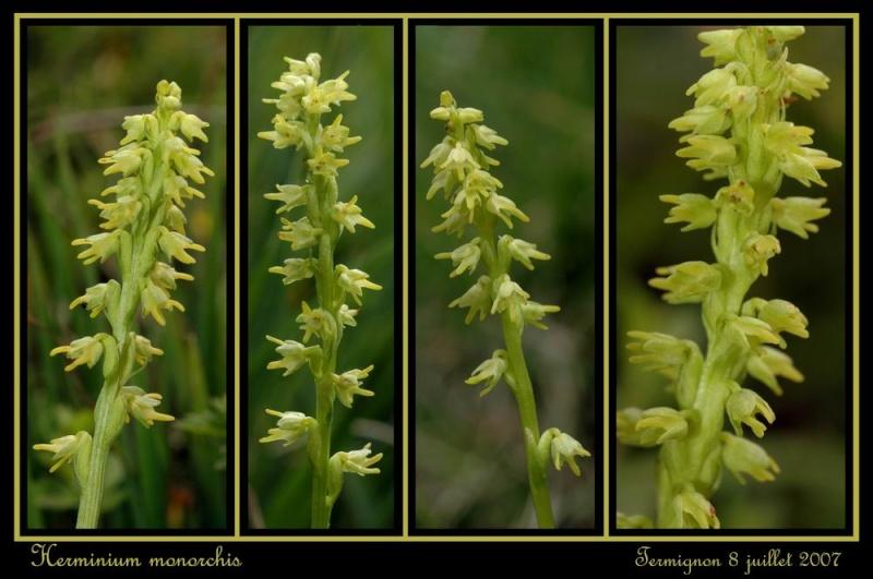 Herminium monorchis ( Orchis musc ) Rherm_12