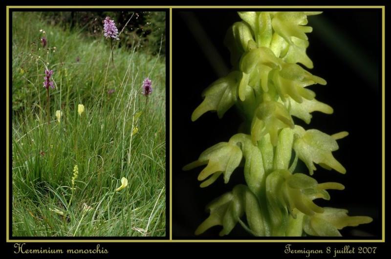 Herminium monorchis ( Orchis musc ) Rherm_13
