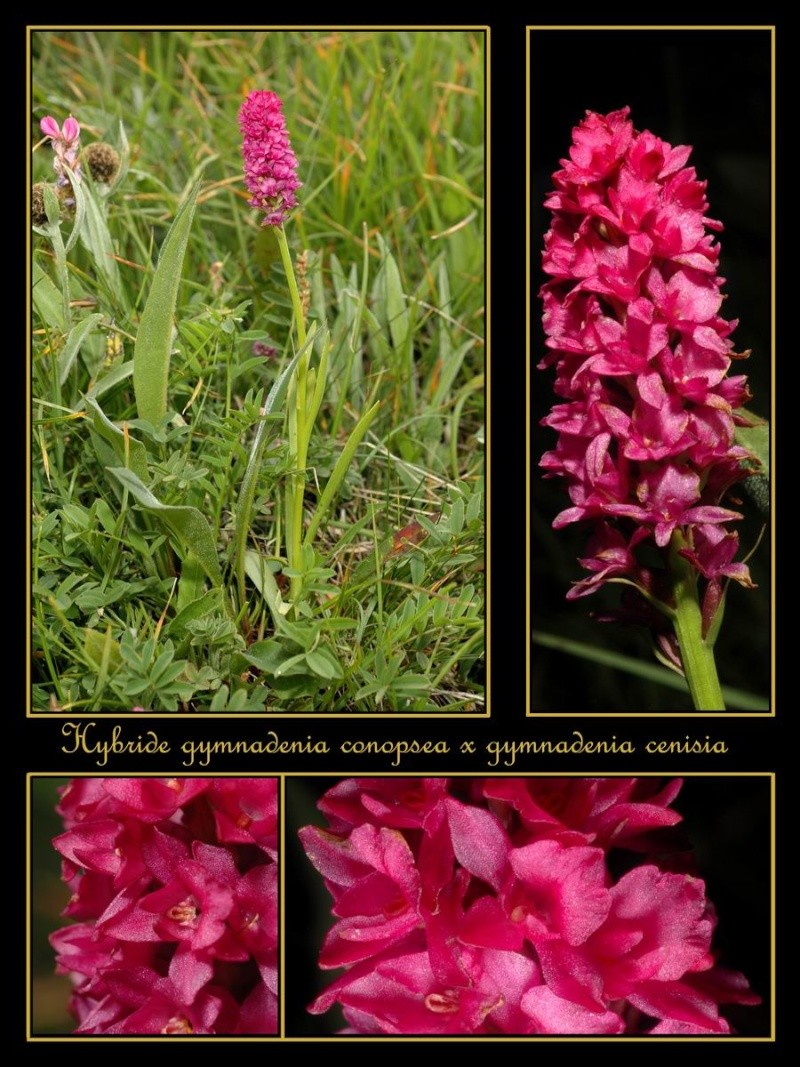 gymnadenia cenisia X gymnadenia  conopsea  Rhybri10