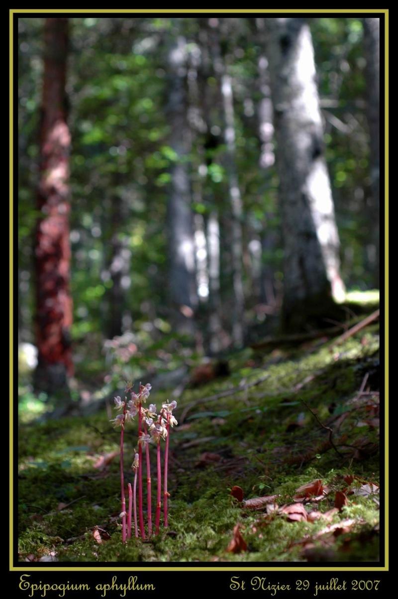 Epipogium aphyllum  ( Epipogon sans feuille ) Rst_ni11
