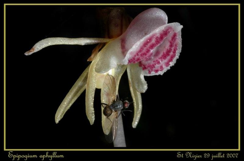 Epipogium aphyllum  ( Epipogon sans feuille ) Rst_ni13