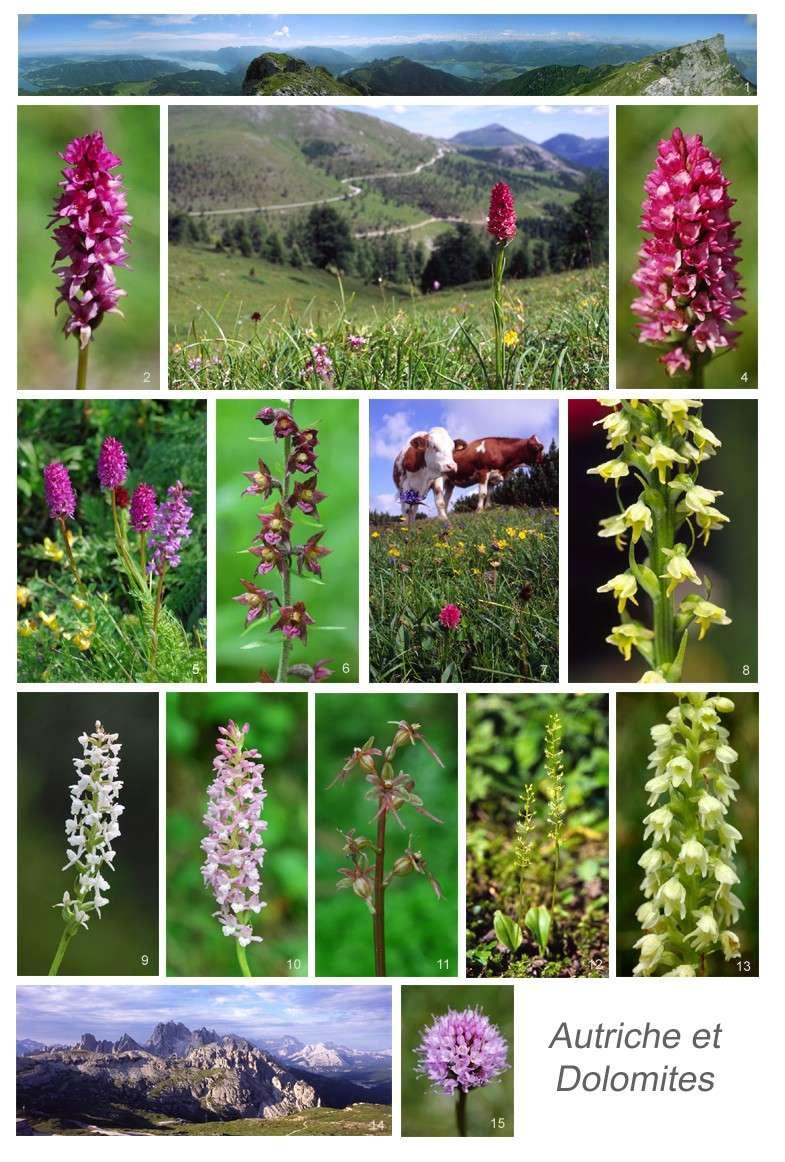 [Autriche et Dolomites] Nigritelles et autres orchidées... Autric11