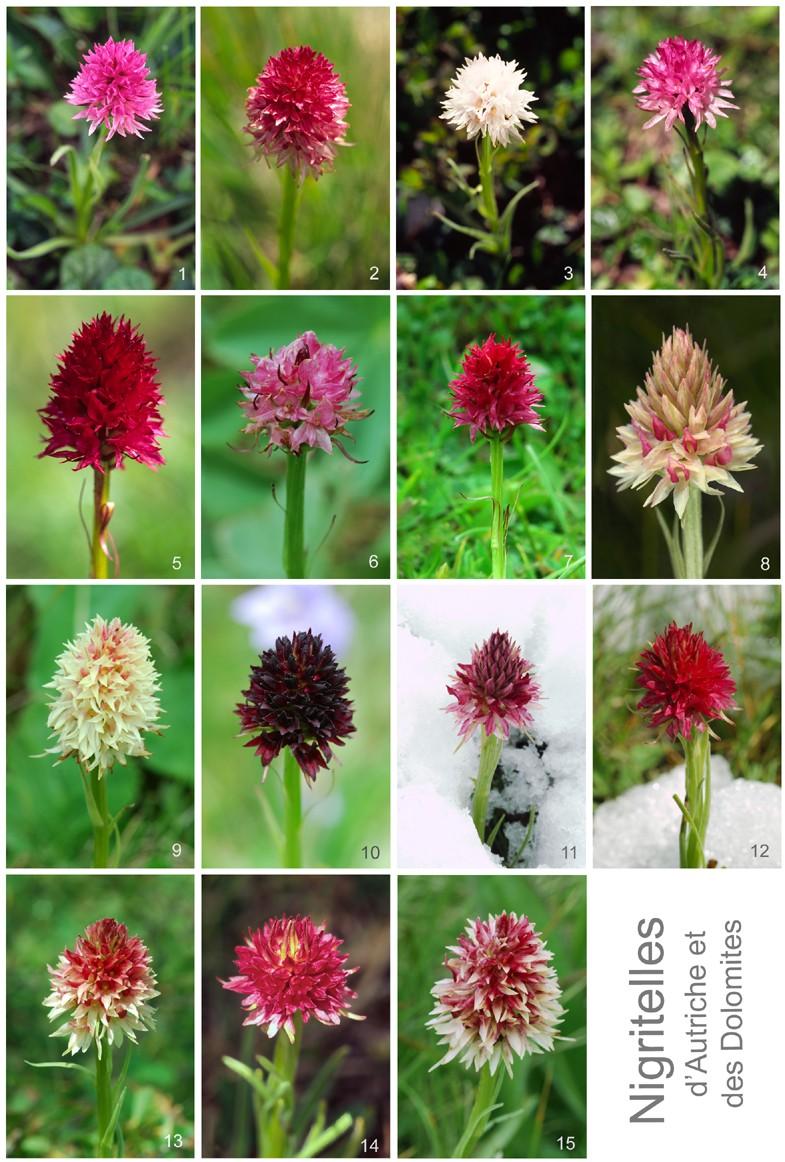 [Autriche et Dolomites] Nigritelles et autres orchidées... Nigrit10