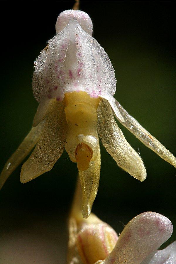 Epipogium aphyllum  ( Epipogon sans feuille ) Epipog11