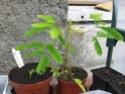 mimosa pudica Img_3820